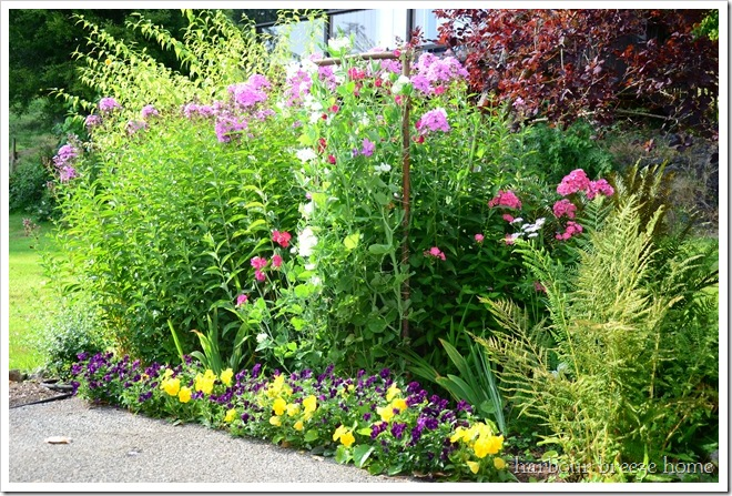 whole sweet pea bed in summer