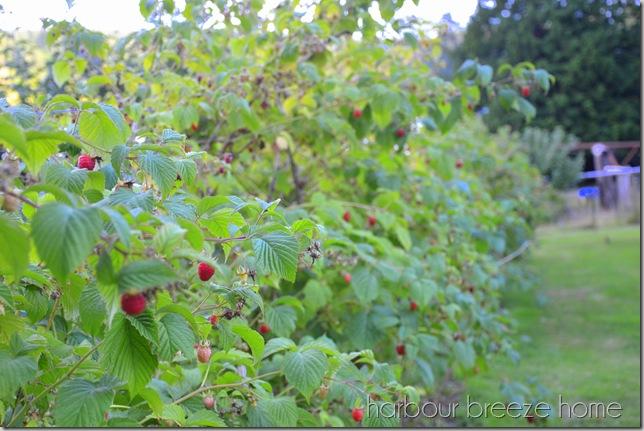 row of raspberries