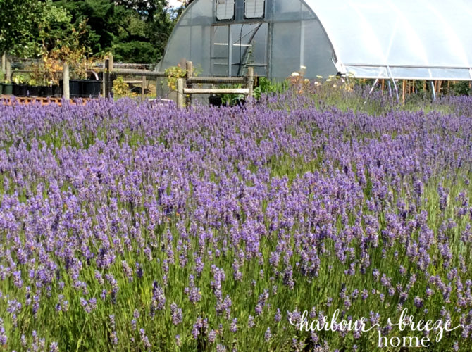 Field of Lavendar