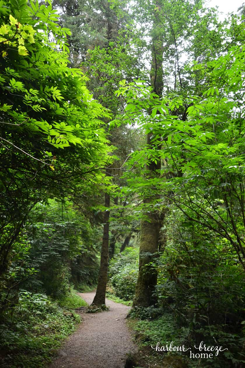 tall trees with a meandering path