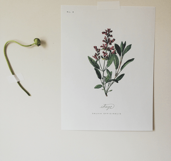 hand painted botanical print of sage