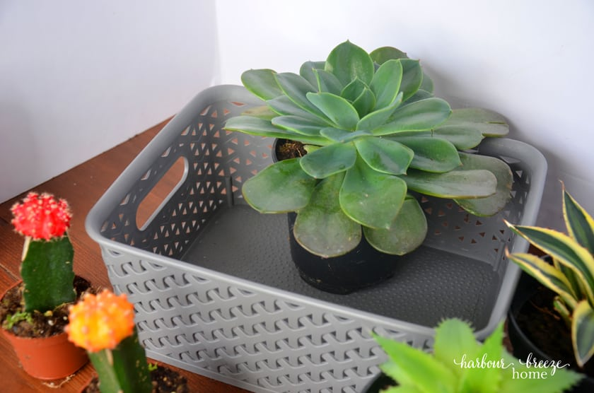 The largest succulent plant with biggest leaves should be placed in the back center of the gray basket.