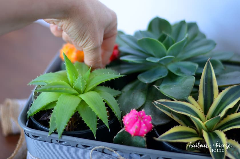 3 small colorful cactus plants are placed in the gaps left between the large plant pots in a DIY succulent gift basket.
