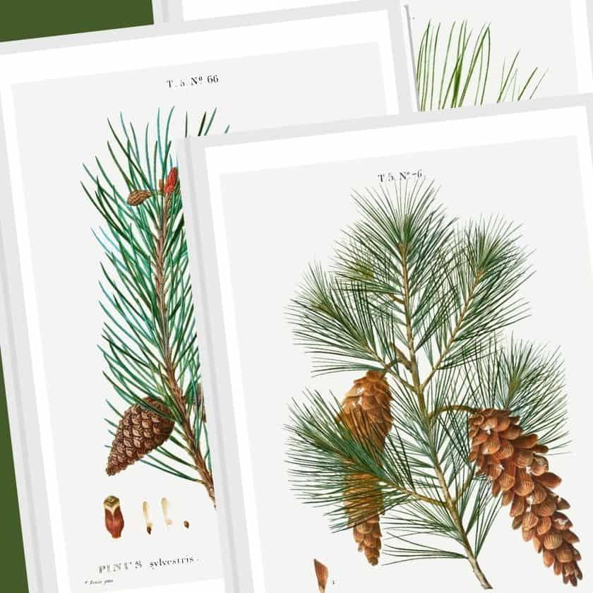 Vintage Botanical Prints – Pine Cone Winter Wall Art