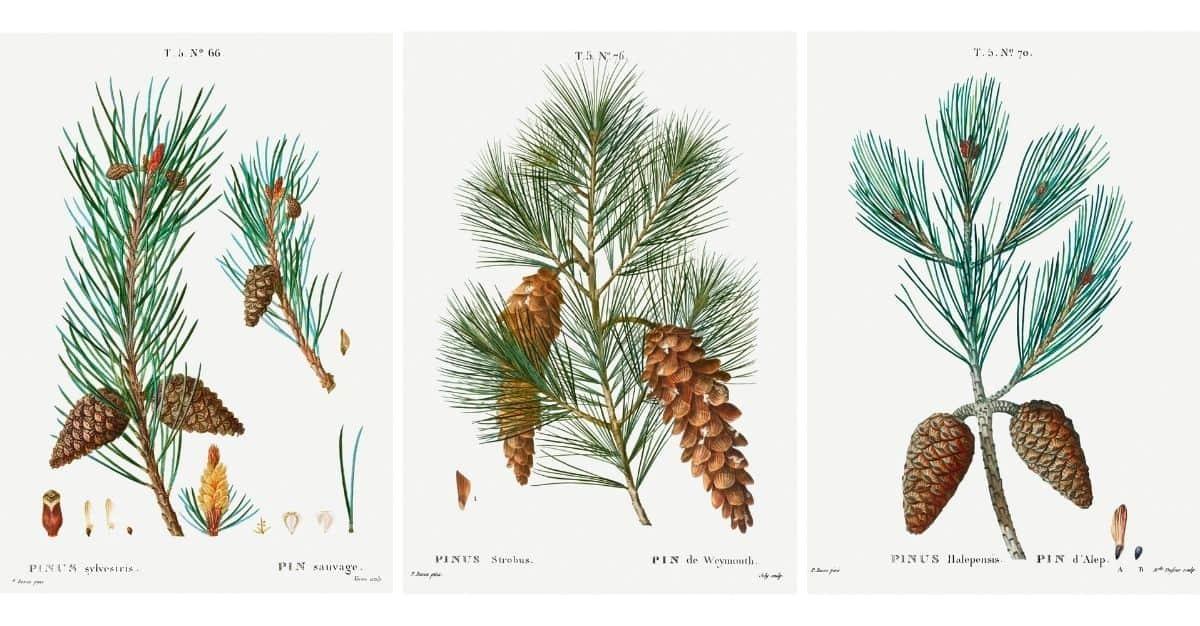 Vintage Botanical Prints Pine Cone Winter Wall Art Harbour Breeze Home