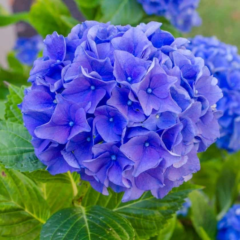 Simple Tips for Hydrangea Care in Pots