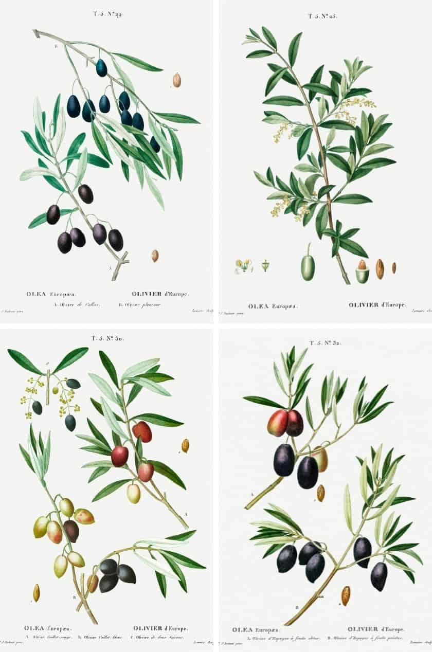 4 botanical art prints of olive branches