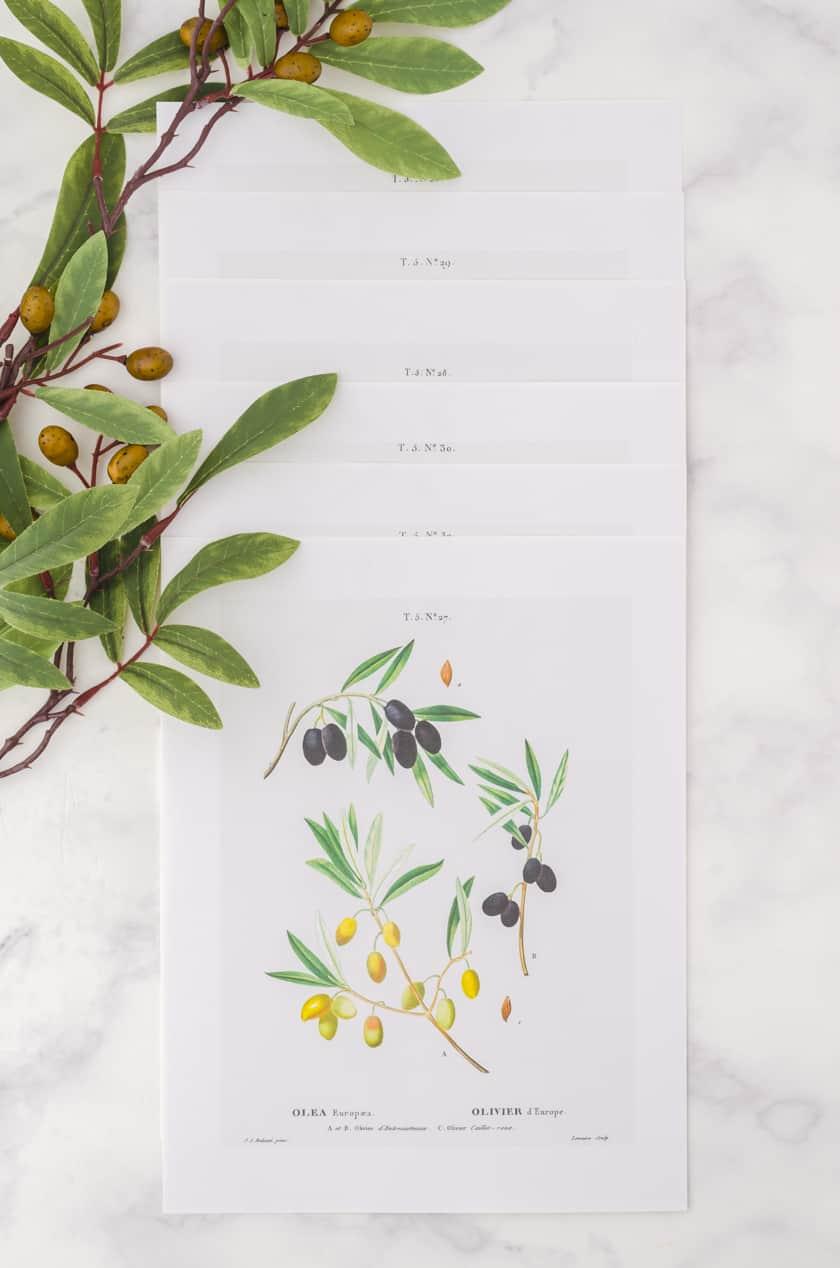 Set of 6 botanical art prints of olive branches