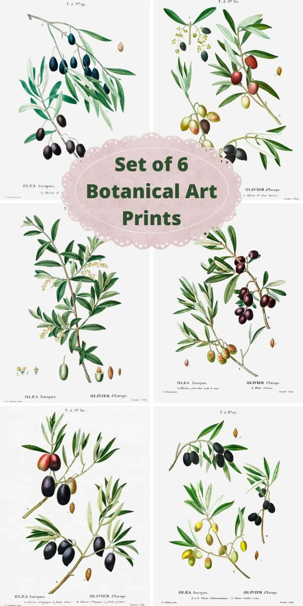 botanical art prints - set of 6 vintage botanical olive branch illustrations